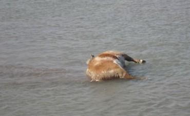 Más de una decena de animales muertos en el río Colorado