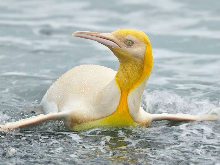 Fotografiaron por primera vez a un pingüino amarillo