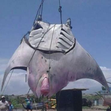 Capturan a mantarraya gigante en Perú
