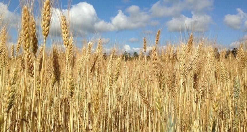 Ahora podés elegir qué variedad de trigo sembrar, a través de una página web