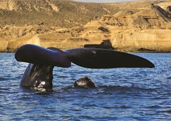 | Llegaron los primeros ejemplares de ballenas francas a la Península de Valdés