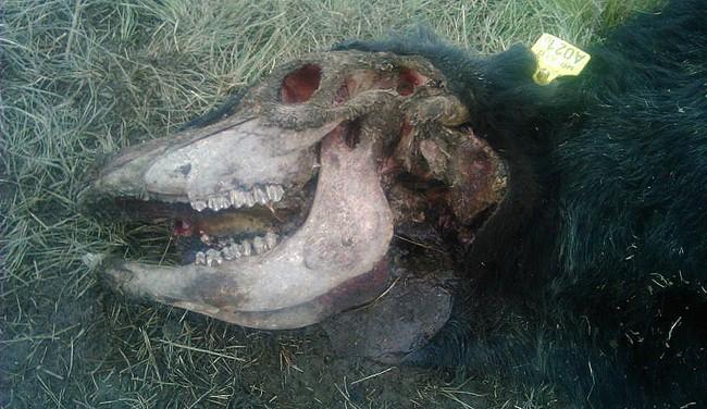 Otra vaca mutilada en la zona de Perú