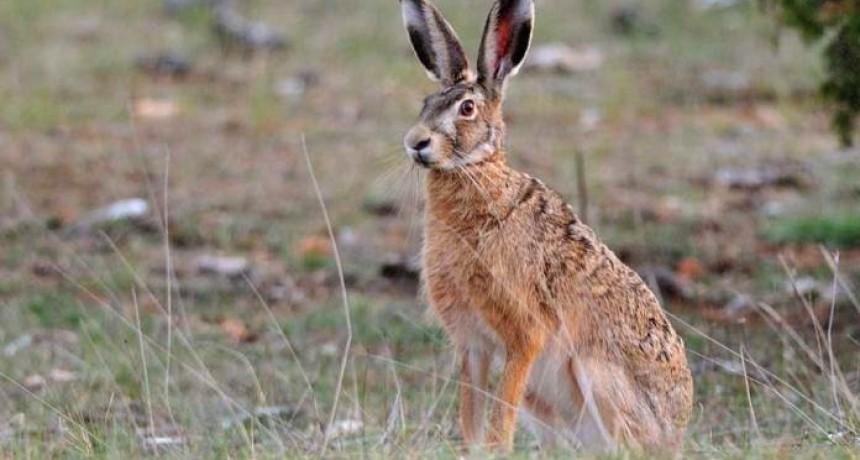 El 21 de mayo inicia la temporada de caza de liebre