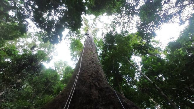 El árbol más alto del mundo registrado mide 100.8 metros desde el suelo hasta el cielo.