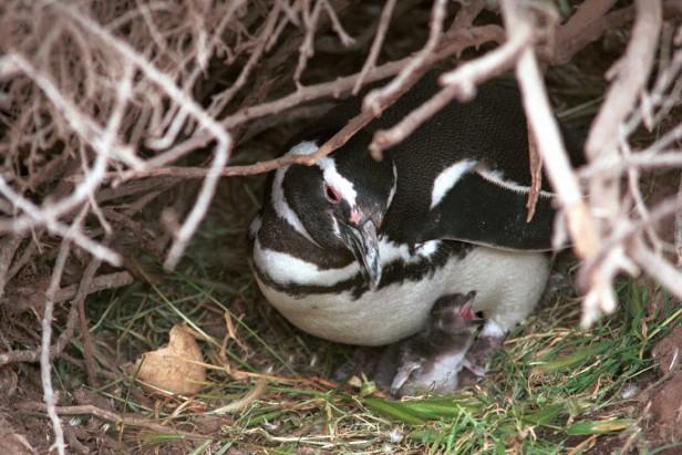 La llegada de los pingüinos a Punta Tombo