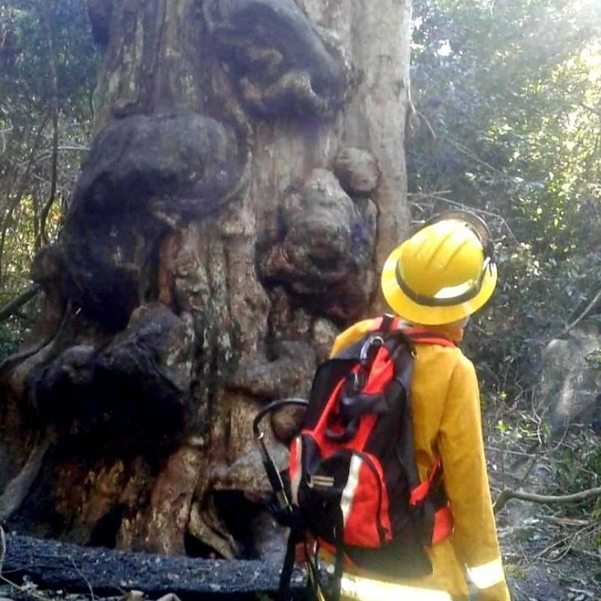 Quiso calentar agua para tomar mate y quemó el árbol más antiguo de Misiones