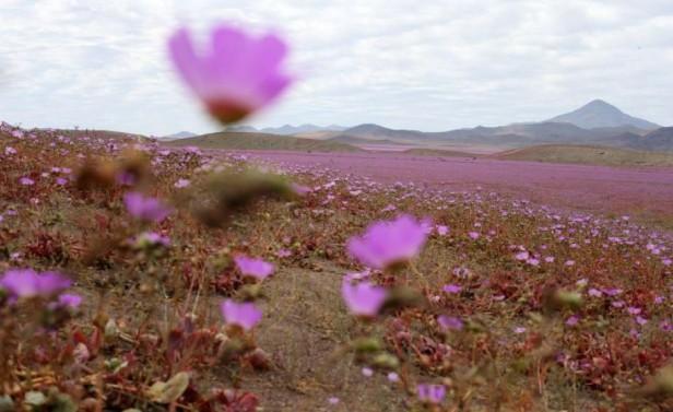 Florece el desierto de Atacama